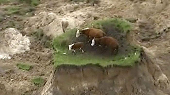 Dramatisch Kuhe Nach Erdbeben In Neuseeland Gerettet Wetter Com