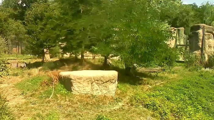 HD Live Webcam Zoo Zagreb - Lion