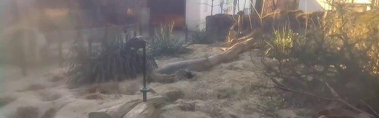 Livecam Zoo Zagreb - Meerkat (Suricate)