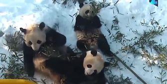 Pures Familienglück: Die putzige Panda-Gang