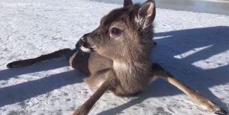 Bambi in Not: Rehkitz von Eis gerettet