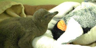 Kleiner Pinguin hat Riesenhunger!