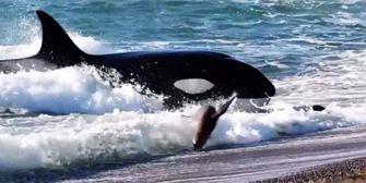Orcas machen Jagd auf junge Seelöwen