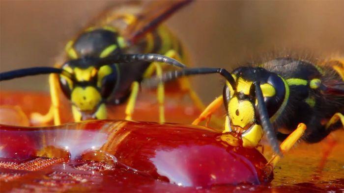 Allergieschock: So schützt man sich vor Wespenstichen