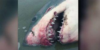 Mysteriöser Tod eines Weißen Hais