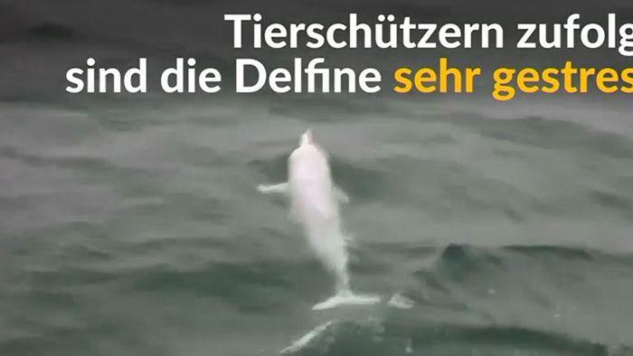 Wegen gigantischem Brückenbau: Weiße Delfine in Gefahr
