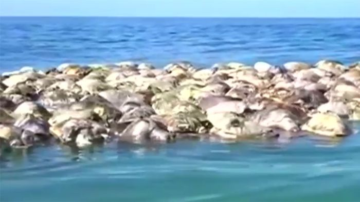 Traurig! Schildkröten-Massensterben vor Küste Mexikos