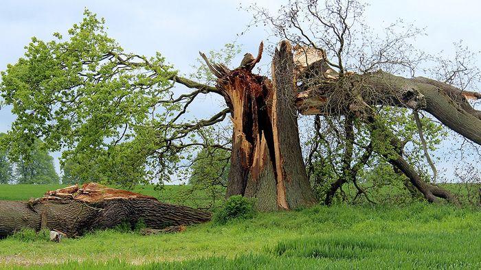 In diesem Jahr können vor allem Obstbäume bei einem Sturm zur Gefahr werden.