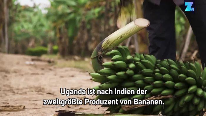 Upcycling: Wie aus Bananenpflanzen Papier gewonnen wird