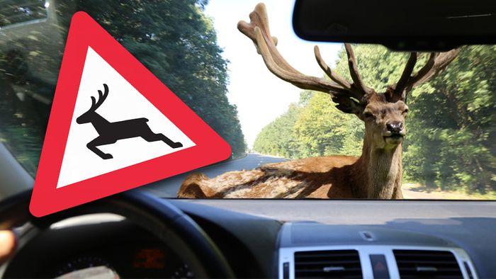 Der Wildwechsel verursacht häufig Unfälle.