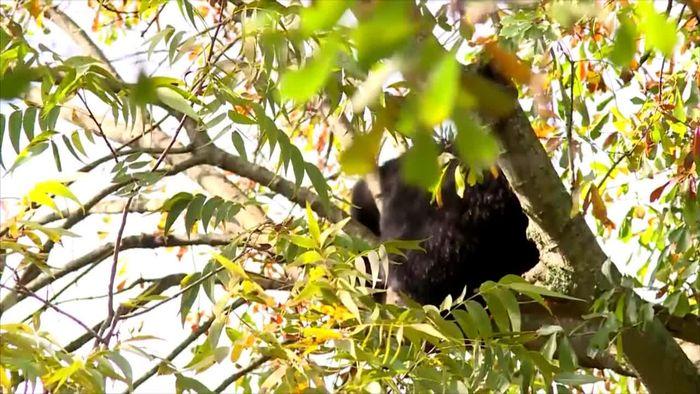 Mitten in Wohngebiet: Bärenfamilie besetzt Baum