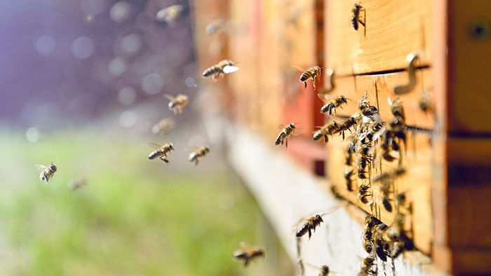 Alternative zum Spürhund: Bienen können Sprengstoff schnüffeln