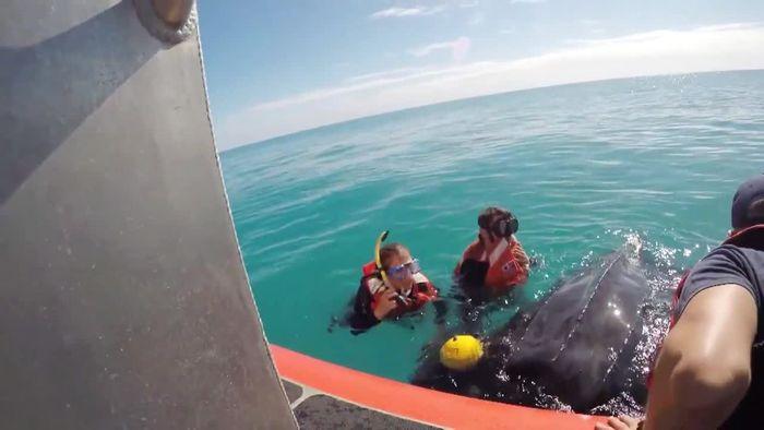 Riesenschildkröte aus Hummerfalle gerettet