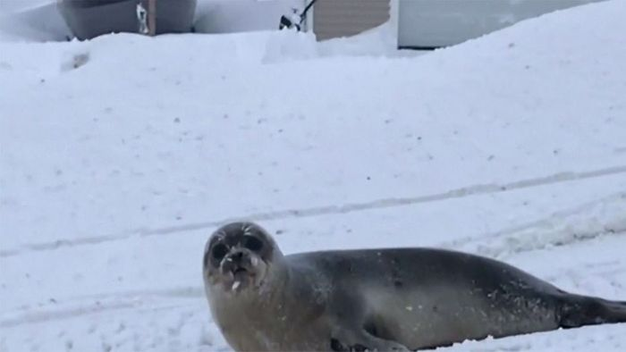 Verirrte Robben lösen Unfälle aus