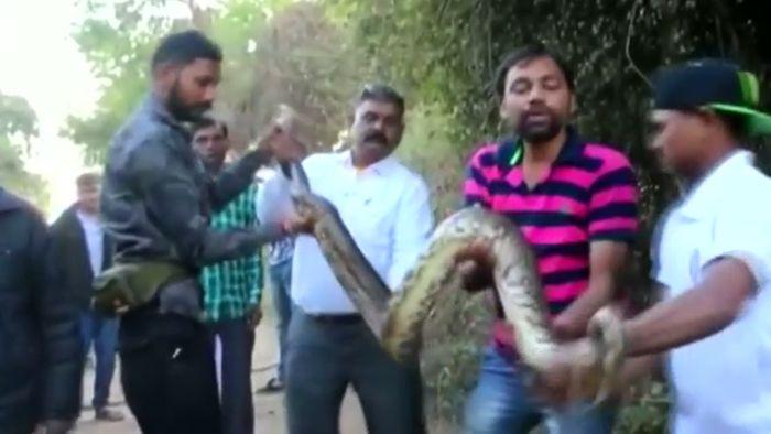 3 Meter lange Python-Schlange in Indien entdeckt