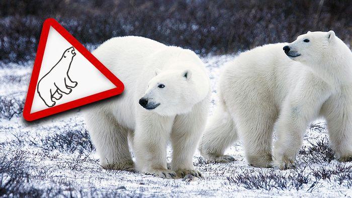 Auf der russischen Doppelinsel Nowaja Semlja wurde wegen Eisbären der Notstand ausgerufen.