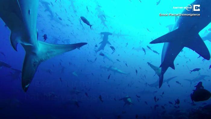 Hammerhai-Invasion vor den Galapagosinseln