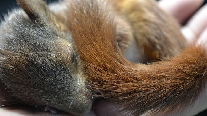 Eichhörnchenbabys brauchen im Frühling oft unsere Hilfe.