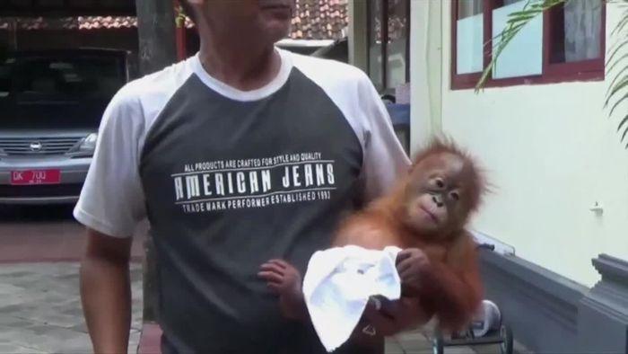 Orang-Utan betäubt: Tourist will Affen aus Indonesien schmuggeln
