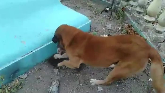 Herzzerreißend: Hund beerdigt kleines Kätzchen