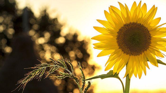 Sonnenblumen haben viele Vorteile.