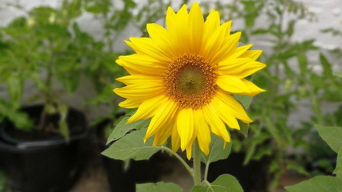 Sonnenblumen anpflanzen ist kinderleicht.