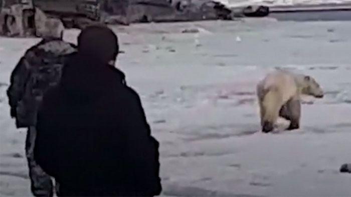 Auf Eisscholle abgetrieben: Eisbär streunt in Siedlung herum