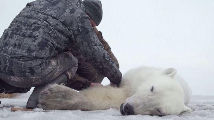 Streunender Eisbär wird in Heimat ausgeflogen