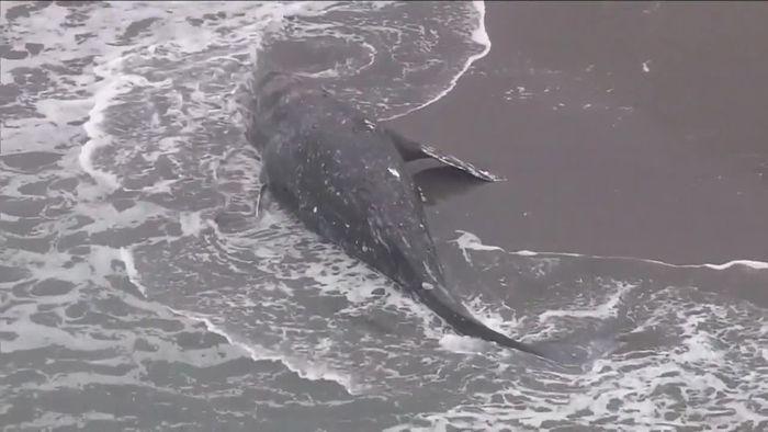 Neun Tiere in zwei Monaten: Weiterer Grauwal tot angespült