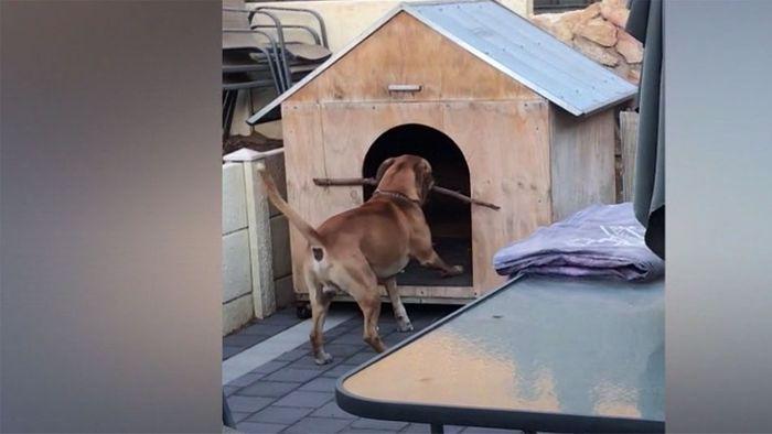 Stöckchen zu breit: Hund verzweifelt vor seiner Hütte