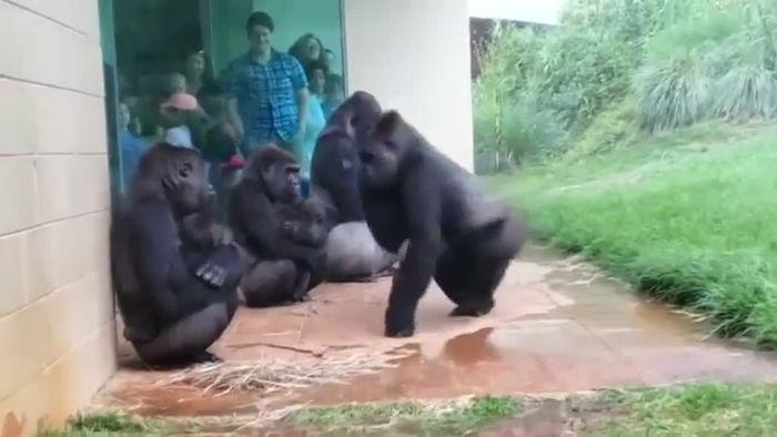 Wasserscheu? Diese Gorilla-Familie hasst Regen