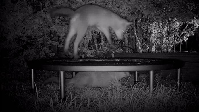 Füchse tollen auf Trampolin herum