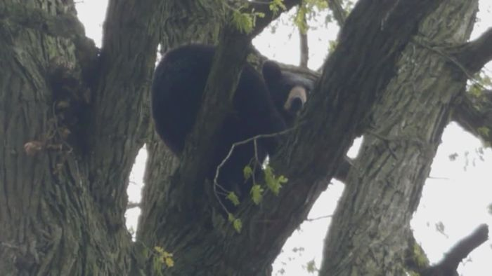 Verirrter Bär wird betäubt und fällt von Baum