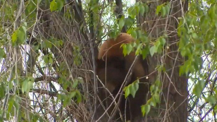 Wie frech: Bär führt Wildhüter an der Nase herum