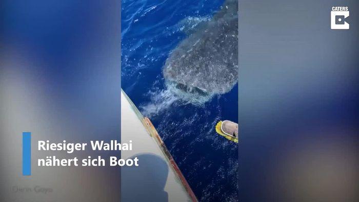 Riesiger Walhai genießt Streicheleinheiten