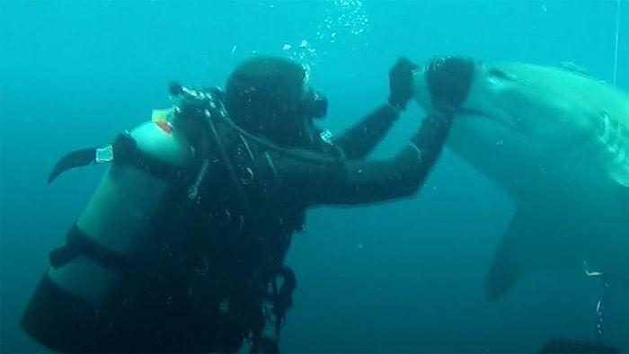 Taucher streichelt schwangeres Hai-Weibchen
