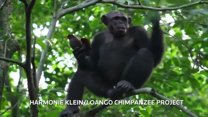 Festmahl: Schimpansen knacken Schildkröten