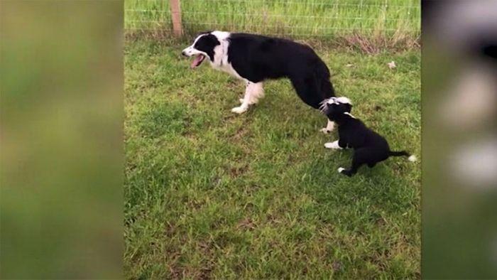 Am Schwanz festgebissen: Welpe hält Hund von der Arbeit ab
