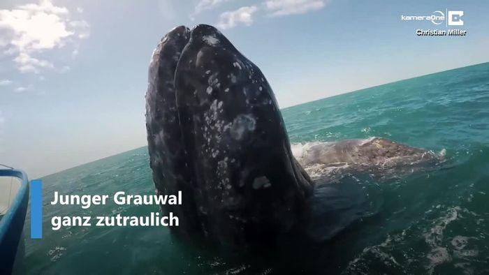 Zutraulicher Riese: Grauwal holt sich Streicheleinheiten ab