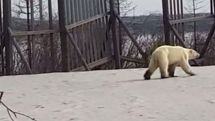 Trauriger Anblick: Eisbär auf Abwegen