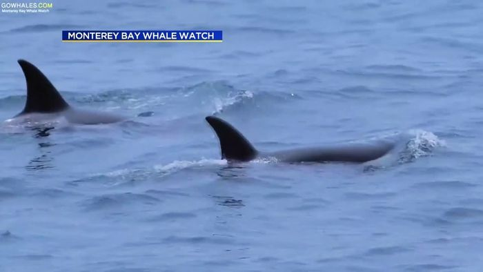Orca-Familie zieht faszinierende Show ab
