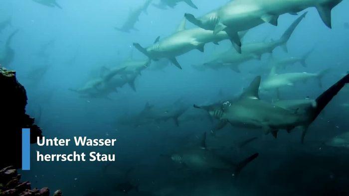 Stau unter Wasser: Hunderte Haie stecken in Strömung fest