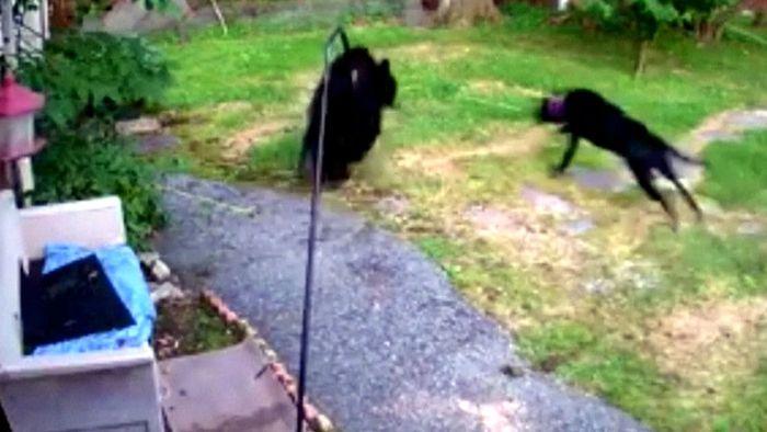 Wie mutig! Hund schlägt Bär in die Flucht