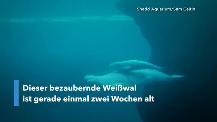 Beluga-Baby feiert Publikumspremiere