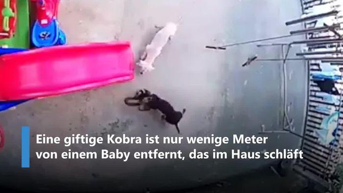 Um Baby zu schützen: Heldenhafte Hunde attackieren Kobra