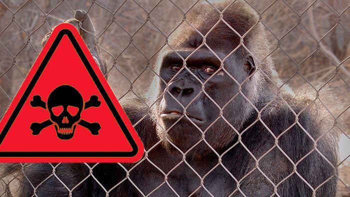 Gorillas sterben aus