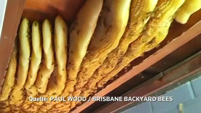 Unerwünschte Gäste: 60.000 Bienen unter dem Dach