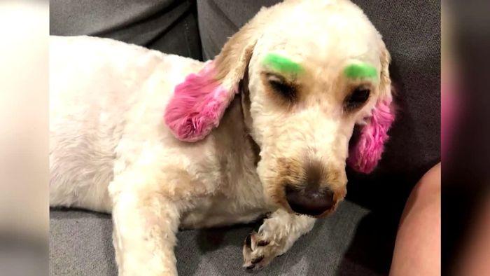 Besuch beim Hundefriseur läuft schrecklich schief