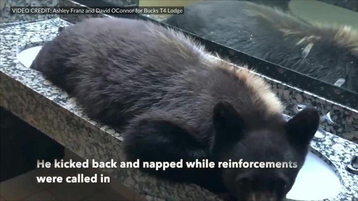 Schläfriger Bär macht es sich in Hotel-WC gemütlich