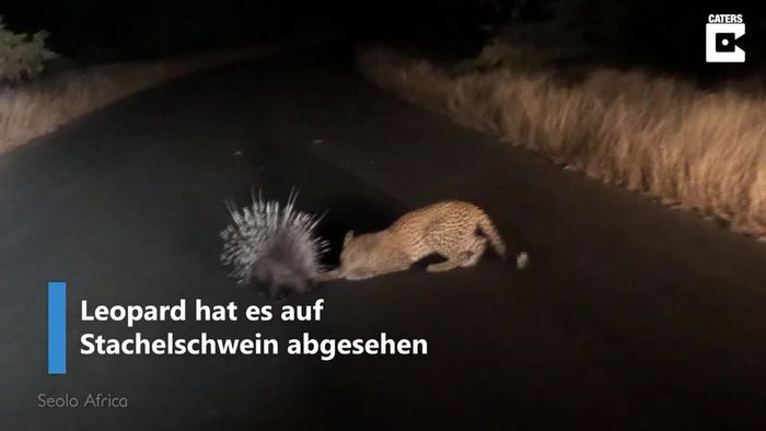 Mit Erfolg: Stachelschwein verteidigt sich gegen hungrigen Leoparden